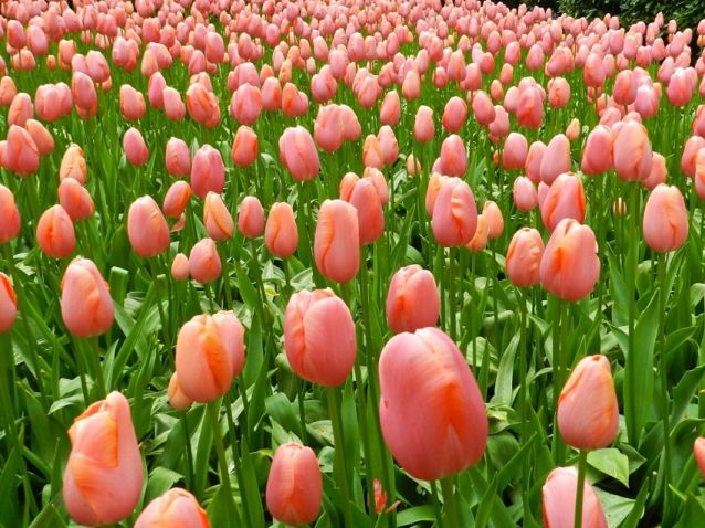 Forever Orange Tulips, Keukenhof, The Netherlands