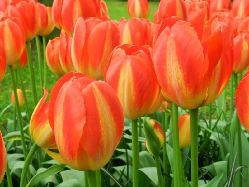 Orange and Yellow Tulips, Keukenhof, The Netherlands