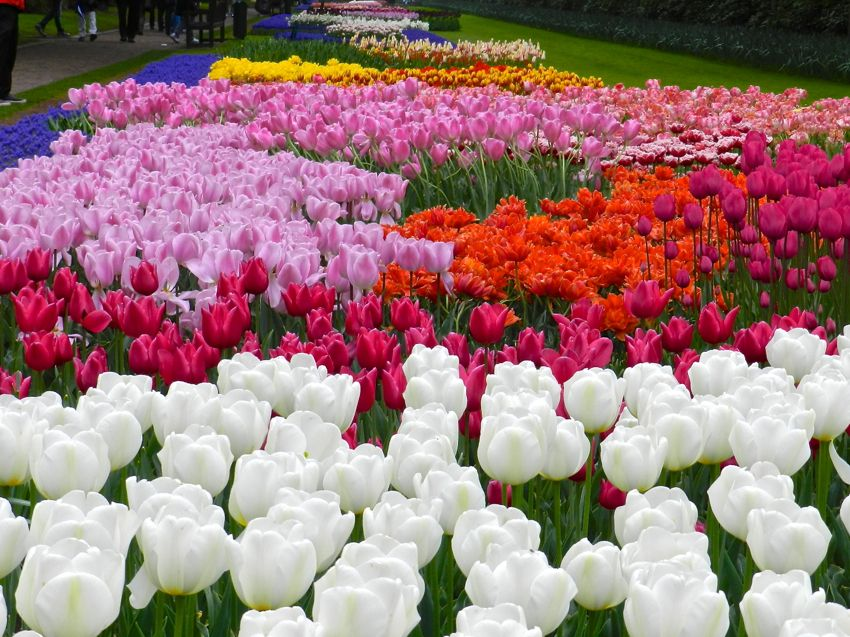 Outburst of Colour, Keukenhof, The Netherlands