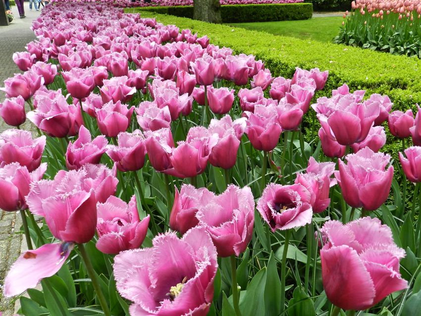 Prink Frilled Tulips, Keukenhof, The Netherlands