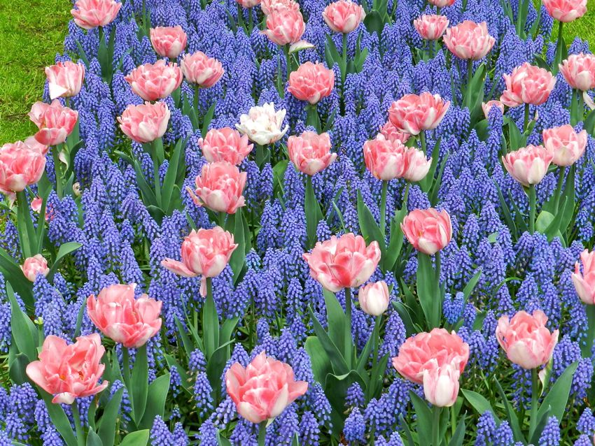 Tulips and Muscari, Keukenhof, The Netherlands