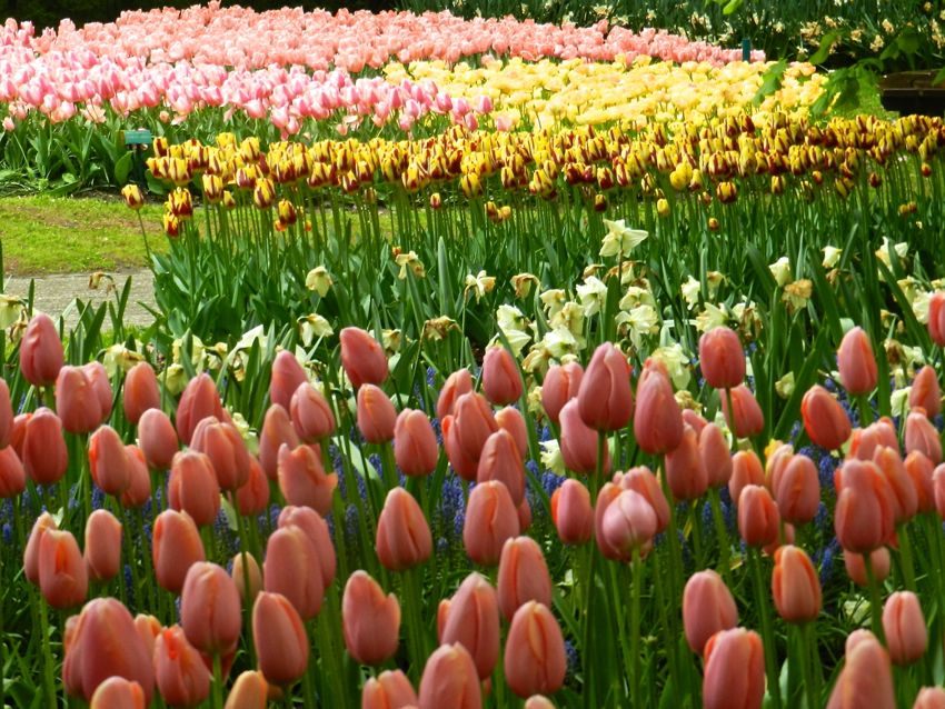 Tulips Kaleidoscope, Keukenhof, The Netherlands