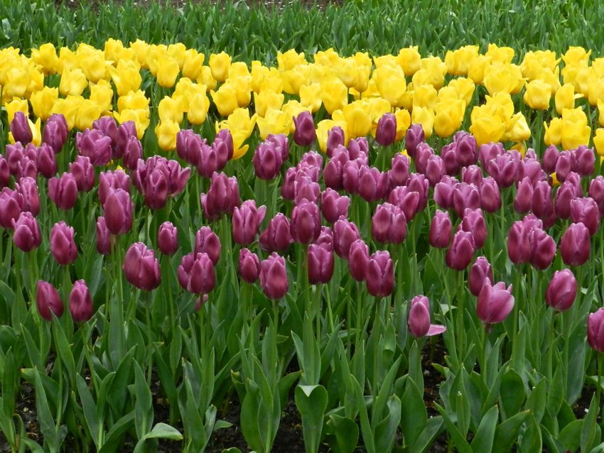 Yellow and Pink Tulips, Keukenhof, The Netherlands
