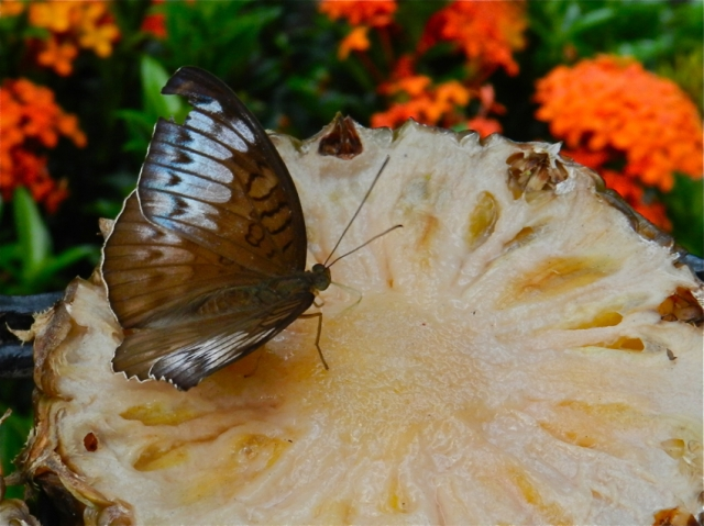 Butterfly Garden, Butterfly 1, Changi Airport, Singapore
