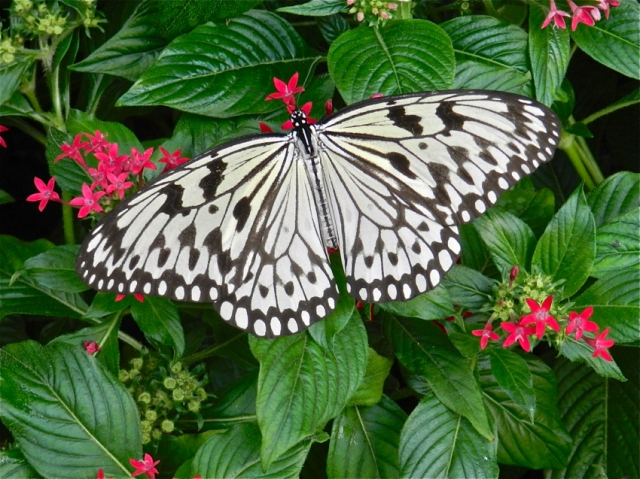 Butterfly Garden, Butterfly 2, Changi Airport, Singapore