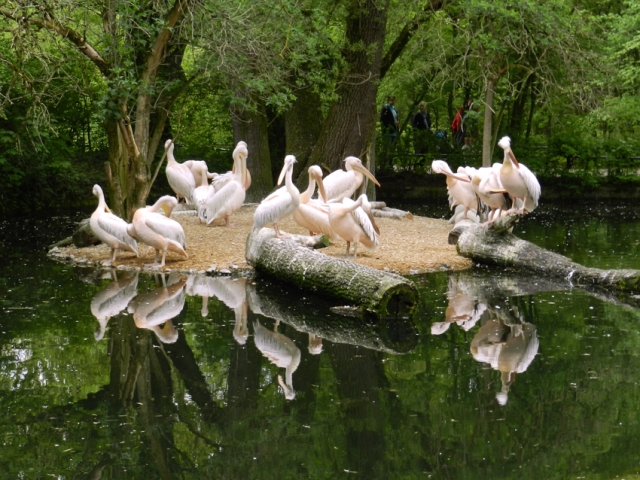 Pink Pelicans at Tierpark Hellabrunn (Munich's Zoo)