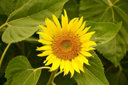 Sunflower, field,