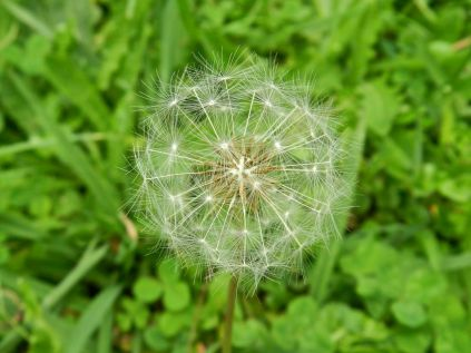 Dandelion, Dorrigo NP