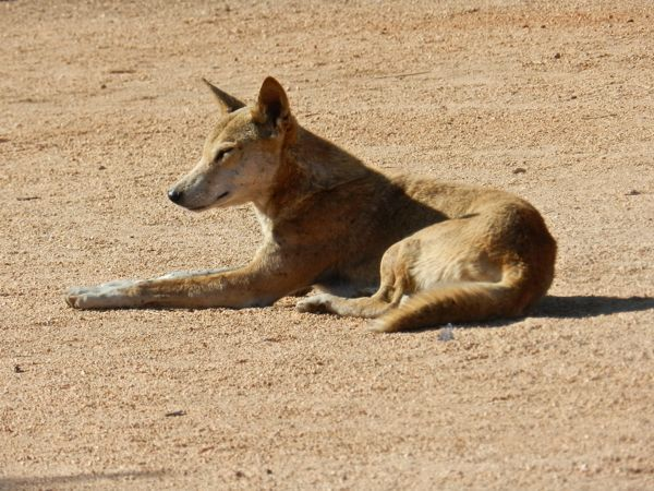 Dingo, Devils Marbles, Northern Territory, NT, Australia