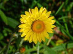 Everlasting Daisy, Dorrigo NP
