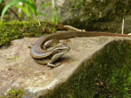 Lizard, Dorrigo NP