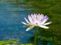 Lotus, Flower, Subtle, Colour