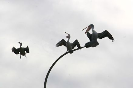 Pelicans at The Entrance, NSW