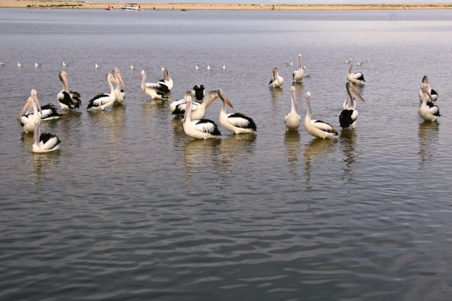Pelicans a-waiting for their daily feed