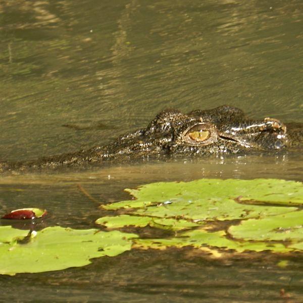 Croc amongst Lily Pads