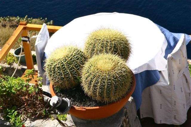 Cactus, Santorini