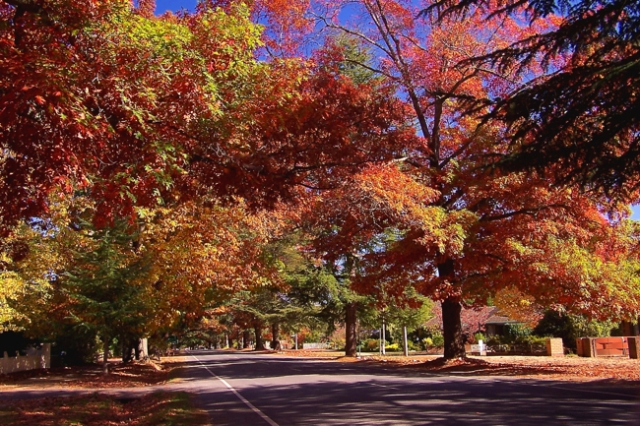 autumn leaves, reds, tree lined street