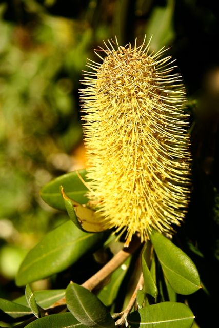 Brush Bush Flower