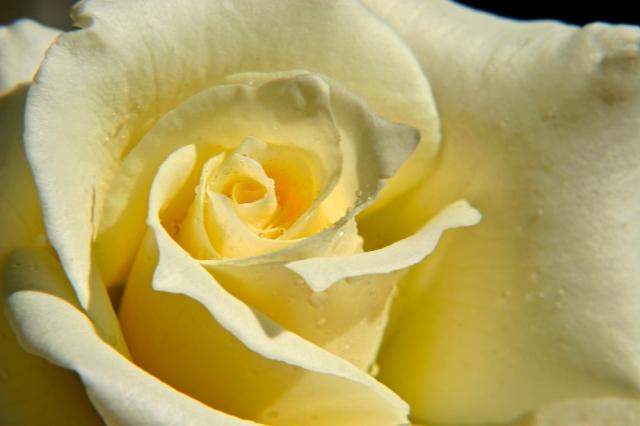 Rose, yellow rose, flower