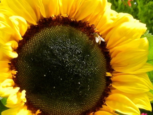 Sunflower, fly, yellow, sunny