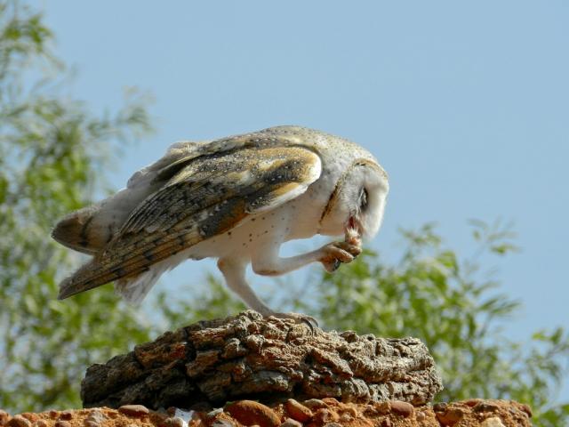 Barn Owl at Morning Tea