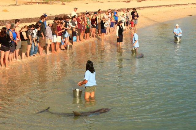 Monkey Mia, Shark Bay, Dolphin Experience