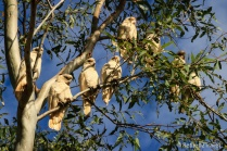 Cockatoos at De Grey River